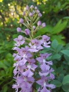 Large Purple Fringed Orchid (Platanthera grandiflora)