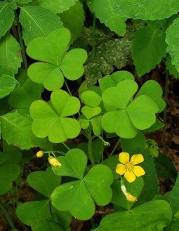 Large Wood Sorrel (Oxalis grandis)