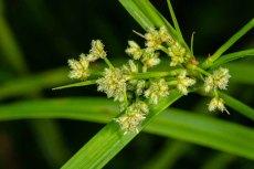Leafy Bulrush (Scirpus polyphyllus)