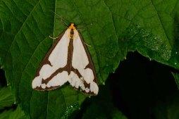 LeConte's Haploa Moth (Haploa lecontei)