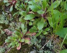 Michaux's Saxifrage (Micranthes petiolaris) Leaves