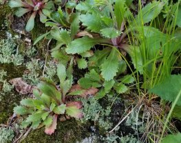Michaux's Saxifrage (Micranthes petiolaris) Leaves