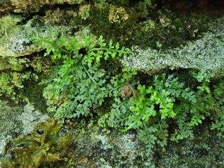 Mountain Spleenwort (Asplenium montanum)