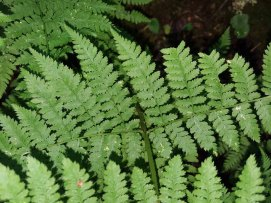 Mountain Wood Fern Dryopteris campyloptera)