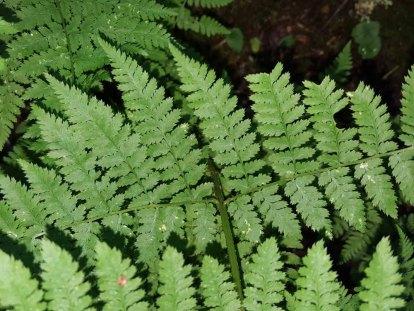 Mountain Wood Fern Dryopteris campyloptera)