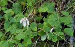 Mountain Wood Sorrel (Oxalis montana)