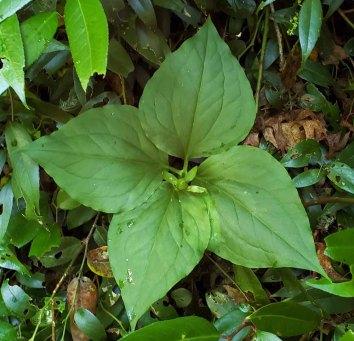 Painted Quadrillium (Trillium undulatum)