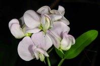 White Everlasting Pea (Lathyrus latifolius*)