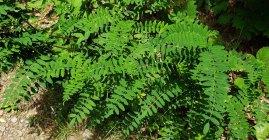 Probably Milk Vetch (Astragalus canadensis)