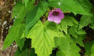 Purple-flowering Raspberry (Rubus odoratus)