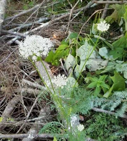 Queen Anne's Lace (Daucus carota)