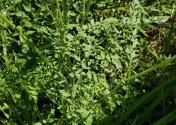 Queen Anne's Lace (Daucus carota*) Leaves