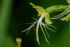 Ragged Fringed Orchid (Platanthera lacera)