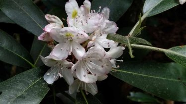 Rosebay (Rhododendron maximum)