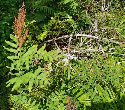 Royal Fern (Osmunda regalis) with Fertile Frond