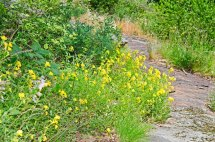 Sundrops (Oenothera fructicosa ssp fructicosa)