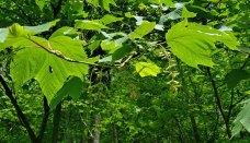 Striped Maple (Acer pensylvanicum)