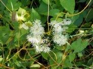 Tassel Rue (Trautvetteria caroliniensis)