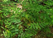 Veiny Pea (Lathyrus venosus)