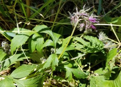 Virginia Waterleaf (Hydrophyllum virginianum) Fading Fast