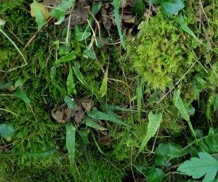 Walking Fern (Asplenium rhizophyllum)