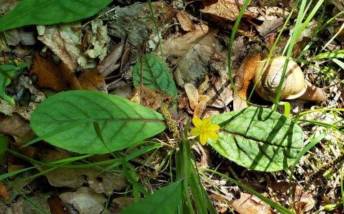 Yellow Star Grass (Hypoxis hirsuta)