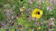 Bee in a Fern-leaved False Foxglove (Aureolaria pedicularia)