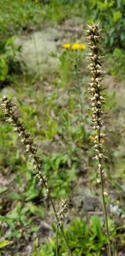 Coralroot (Corallorrhiza sp.) in Seed