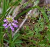 Polygala curtissii (Curtiss' Milkwort; Candyroot) and Pinweed (Lechea racemulosa)