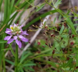 Polygala curtissii (Curtiss' Milkwort; Candyroot) and Pinweed (Lechea racemulosa)