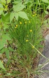 Orange Grass (Hypericum gentianoides) Plant