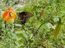Pipevine and the Carolina Lily