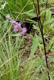 Pipevine on a Blazing Star