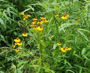 Purple-headed Sneezeweed (Helenium flexuosum) Plant