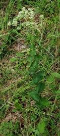 Roundleaved Thoroughwort (Eupatorium rotundifolium) Plant