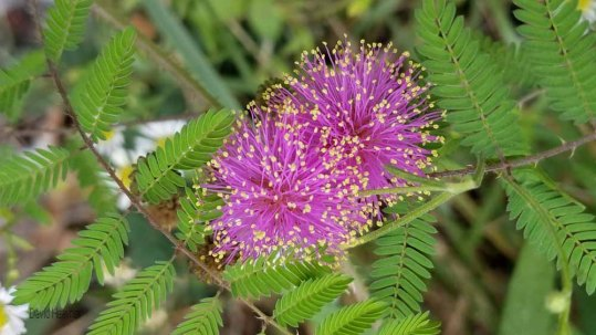 Sensitive Brier (Mimosa microphylla)