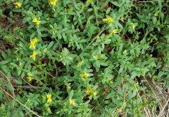 St. Andrew's Cross (Hypericum hypericoides) Plant