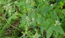 White Boneset (Eupatorium album) Plant