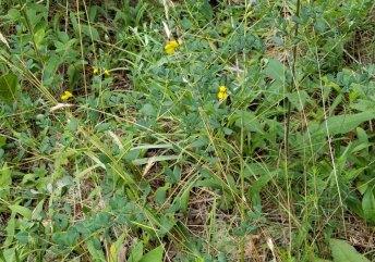 Wild Indigo (Baptisia tinctoria) Plant
