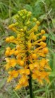 Yellow Fringed Orchid (Platanthera ciliaris)