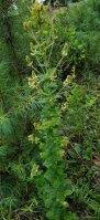 a Bush Clover (Lespedeza sp.) Plant