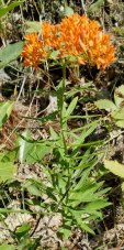 Butterfly Weed (Asclepias tuberosa) Plant