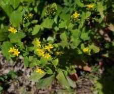 Common St. John's-wort (Hypericum perforatum)