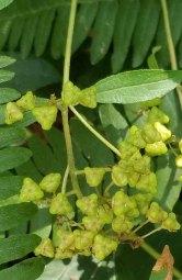 New Jersey Tea (Ceanothus americanus) in Seed