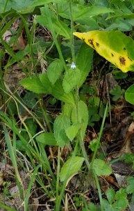 Rabbit Tobacco (Pseudognaphalium obtusifolium) Plant