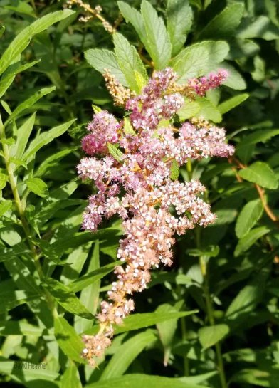 Steeplebush (Spiraea tomentosa) Bloom