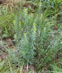 Stiff Aster (Ionactis linariifolius) Plant