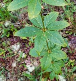Whorled Loosestrife (Lysimachia quadrifolia) in Seed