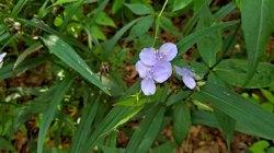 a Spiderwort (Tradescantia sp.)