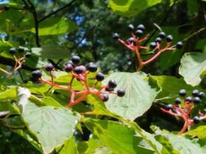 Alternate-leaf Dogwood (Cornus alternifolia)